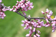 Redbud on Green. Flowering Redbud Branch on Green Background Royalty Free Stock Images