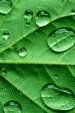 Redbud Leaf royalty free stock photo