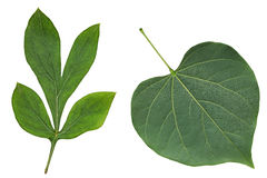 Redbud Leaf Stock Photos