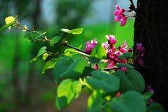 Redbud oriental Images libres de droits
