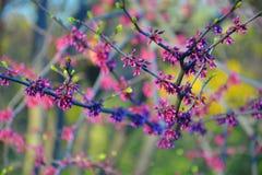 Redbud orientale Immagine Stock