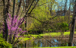 Redbud and pond. A spring redbud tree blooming by a small pond Stock Image