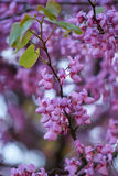 Redbud siliquastrum in bloom in spring Royalty Free Stock Photography