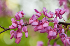 Redbud siliquastrum in bloom in spring Stock Photos