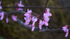 Redbud siliquastrum in bloom in spring Royalty Free Stock Photo
