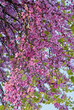 Redbud siliquastrum in bloom in spring Royalty Free Stock Images