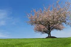 Redbud träd i blom royaltyfri foto