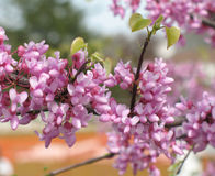 Redbud tree. Flowering tree with pink blossoms Stock Photography