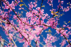 Redbud Tree Stock Photo