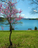 Redbud Tree, Bench And Lake Stock Photography