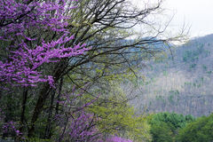 Redbud Tree blooms and new growth in the Smokies. Stock Photos