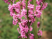 Redbud tree  blossoming Royalty Free Stock Image