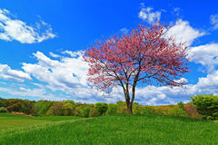 Redbud Tree Blue White Cloudy Sky. Flowering Redbud tree on blue white cloudy sky background in Spring Royalty Free Stock Photography
