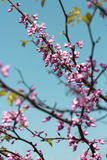 Redbud tree Royalty Free Stock Images