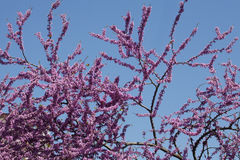 Redbud Tree Branch Stock Images