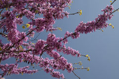 Redbud Tree Branch Royalty Free Stock Photography