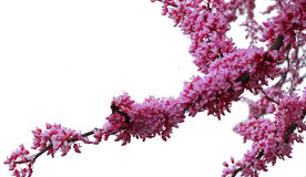 Redbud Tree Branches Stock Photo