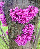 Redbud tree (Cercis canadensis) blossom Royalty Free Stock Photos