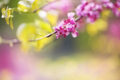 Redbud Tree, close-up. Redbud Tree. Spring flowering with small lilac flowers, close-up royalty free stock images