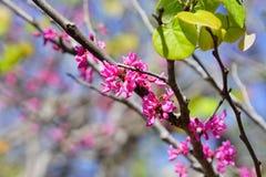 Redbud tree Stock Photo