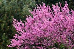 Free Redbud Tree In Bloom Stock Image - 112438251