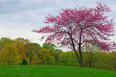 Redbud Tree royalty free stock image