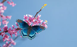 Redbud tree with a Red Spotted Purple Admiral Stock Photos