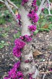 Redbud tree. In spring stock images
