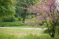 Landscape with Redbud Tree. Redbud Tree. Spring flowering with small lilac flowers royalty free stock photos