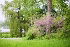 Redbud Tree in the park. Redbud Tree. Spring flowering with small lilac flowers royalty free stock image