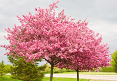 Redbud Trees royalty free stock photo