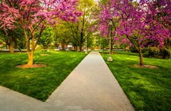 Redbud trees along a path at the Capitol Complex in Harrisburg, Royalty Free Stock Images