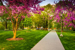 Redbud trees along a path at the Capitol Complex in Harrisburg, Royalty Free Stock Image