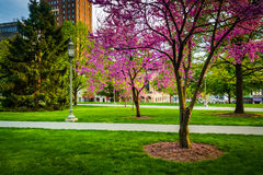 Redbud trees at the Capitol Complex in Harrisburg, Pennsylvania. Royalty Free Stock Images