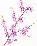 Redbud twig with blossoms Stock Images
