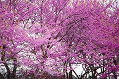 Redbuds in bloom. Beautiful purple redbud trees in bloom Stock Photo
