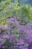 Redbuds in bloom frame the roadsides in the Smokies. Royalty Free Stock Images