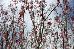 Redbuds dans le brouillard Photo libre de droits