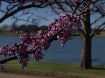 Redbuds sur le côté au bord du lac du ` s Photos libres de droits