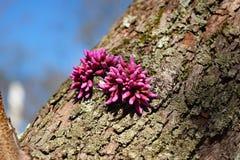 Redbuds sur un tronc d'arbre images stock