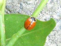 Redbug foto de archivo