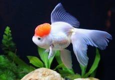 Redcap Goldfish Stock Photos