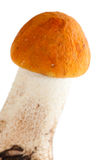 Redcap mushroom Stock Photography