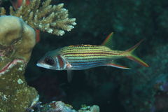 Redcoat squirrelfish Royalty Free Stock Photos