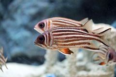 Redcoat Squirrelfish. Royalty Free Stock Images