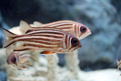 Redcoat Squirrelfish. Royalty Free Stock Image