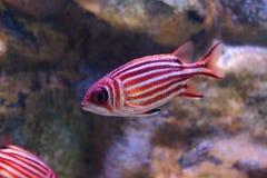 Redcoat squirrelfish Royalty Free Stock Image