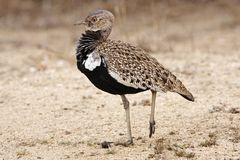 Redcrested korhaan Stock Image