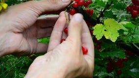 Redcurrant συλλογή συλλέγει τα ώριμα μούρα κόκκινων σταφίδων φιλμ μικρού μήκους