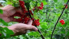 Redcurrant συλλογή συλλέγει τα ώριμα μούρα κόκκινων σταφίδων απόθεμα βίντεο
